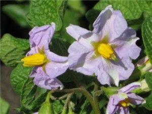 Чому Беллароза не цвіте