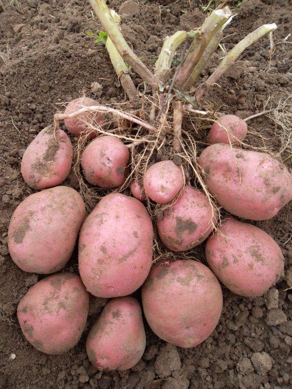 Фото картоплі сорту Беллароза