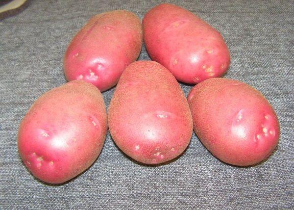 Картопля Беллароза: фото і опис