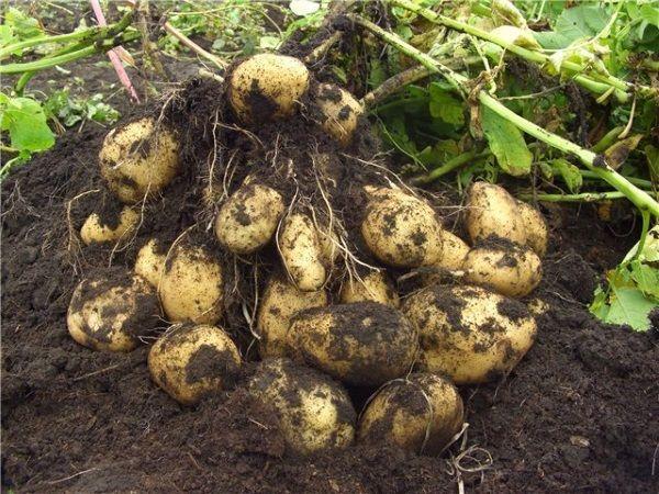 Фото картоплі сорту Імпала