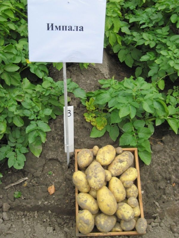 Картопля сорту Імпала: фото і опис