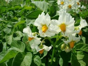 Характеристики втечі картоплі сорту Імпала