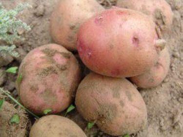 Картопля: культура, історія освоєння в росії, умови зростання, агротехніка