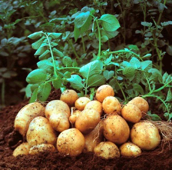 Картопля сорту Рів`єра: фото і опис