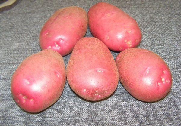 Фото картоплі сорту Каменський
