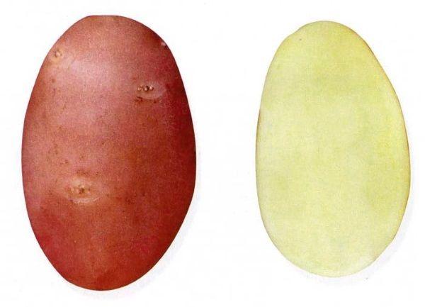 Картопля сорту Каменський: фото і опис