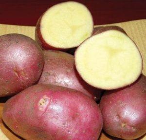 Характеристики картоплі сорту Каменський