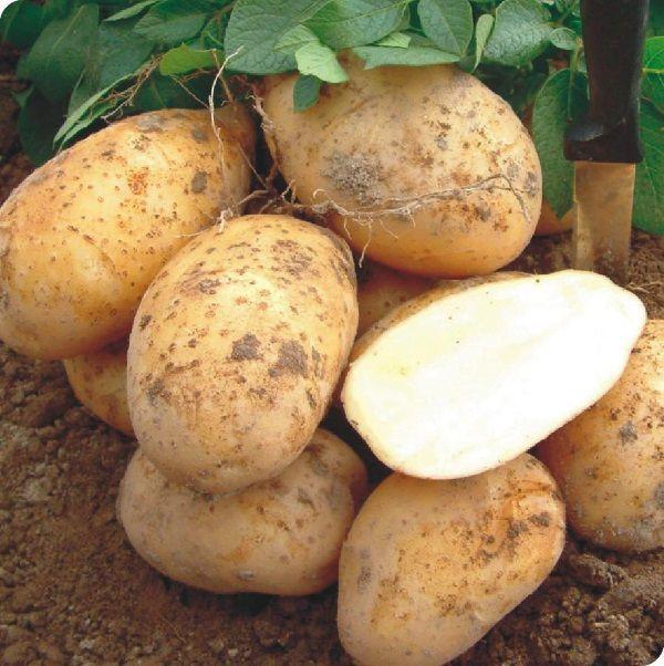 Картопля сорту Колетт: фото і опис