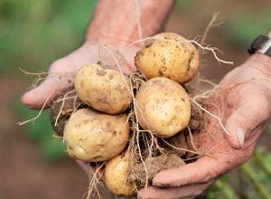 Догляд та вирощування картоплі сорту Колетта