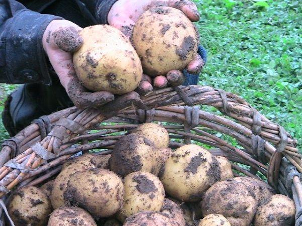 Картопля сорту Вінета: фото і опис