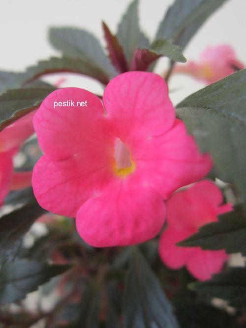 Каталог продаваних рослин - кімнатні рослини - ахіменеси