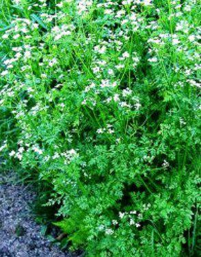 Катран - овочева культура, її особливості, корисні властивості і агротехніка