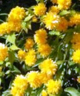 Керія - японська троянда, особливості культури