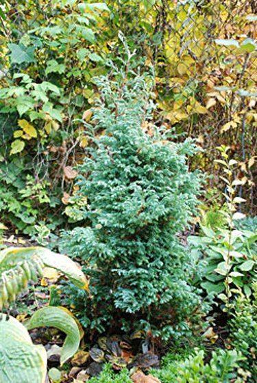 Кипарисовик горохоплодний (chamaecyparis pisifera) сорти булевар в російському саду, умови зростання, догляд