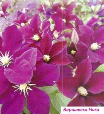 Клематиси, посадка і догляд за квітами, саджанці клематисів