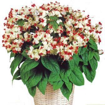 Клеродендрум - багаторічний декоративно зростаючий домашніх квітка