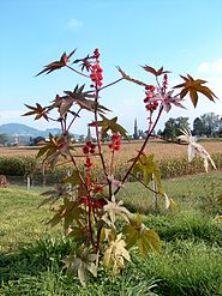 Рицина звичайна, історія декоративної культури, особливості її вирощування