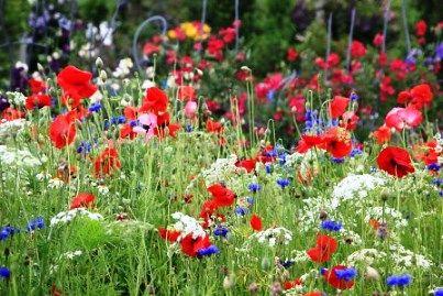 Маки: квіти