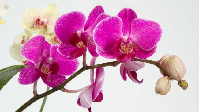 Коли і як пересадити орхідею в домашніх умовах: підбираємо правильно горщик, грунт, полив