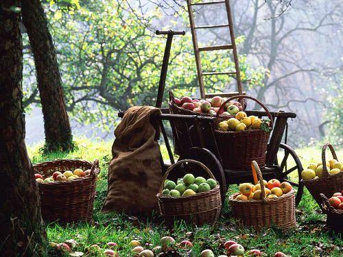 урожай яблук