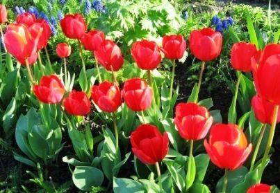 Коли садити цибулини тюльпанів восени