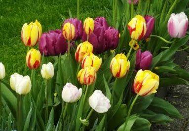 тюльпани восени