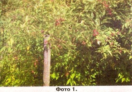 Колючий вишня, прінсеп в живоплоту, особливості рослини