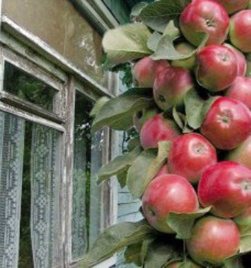 Колонновидні яблуні, сорти, кичина