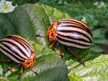 Колорадський жук, боротьба з шкідником і профілактика
