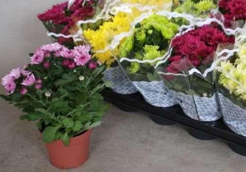 Кімнатна хризантема: догляд і вирощування