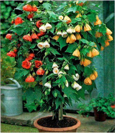 Кімнатний квітка абутілон: види, догляд, фото