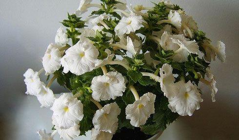 Кімнатний квітка ахименес: фото, вирощування і особливості догляду в домашніх умовах