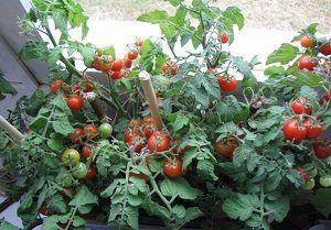 Кімнатний томат, балконний помідор, або просто «балконний диво»: опис сорту з фотографіями
