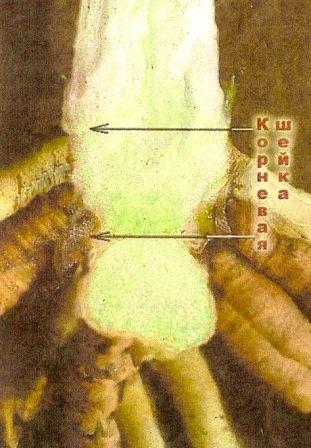 Коренева шийка плодових рослин і її значення в житті рослин