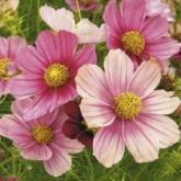 квіти космеи