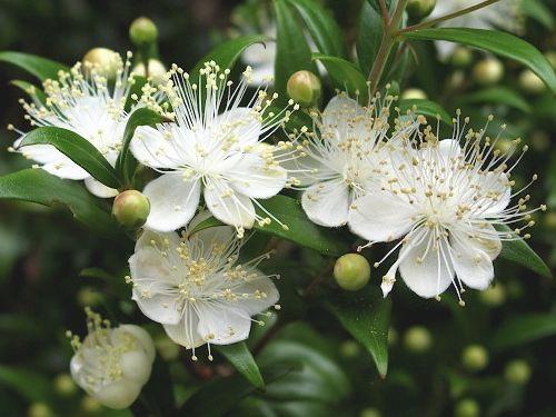 Красень мирт: вирощування в домашніх умовах