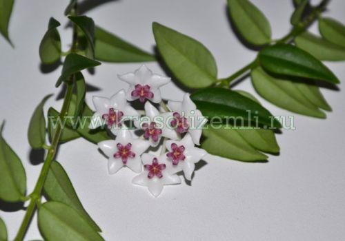Красуня хойя: вирощуємо в домашніх умовах