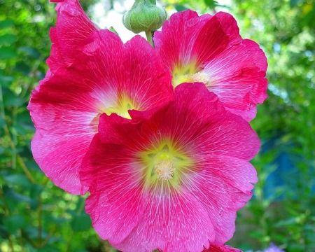 Гарний садовий квітка мальва