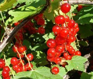 Червона смородина: хвороби, шкідники та способи боротьби з ними