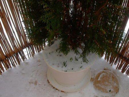 зимівля крокусів