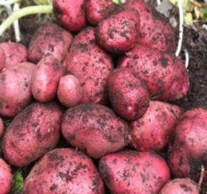 Великоплідний картопля «родріго»: опис сорту, фото, характеристика