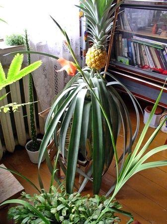 Вирощували ананас в домашніх умовах? Як він великий росте? Вродливий?