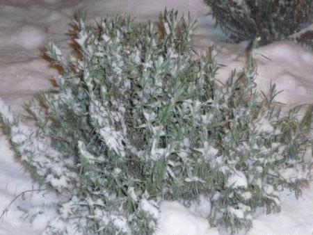 Лаванда - зимівля
