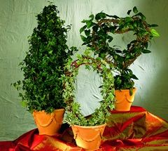 Лікарські властивості кімнатних рослин