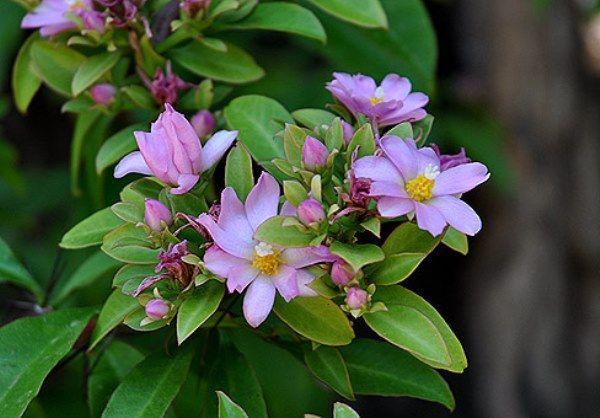 Лісовий кактус переськия: особливості вирощування та догляду в домашніх умовах