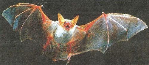 Летюча миша, хижак в боротьбі з шкідниками