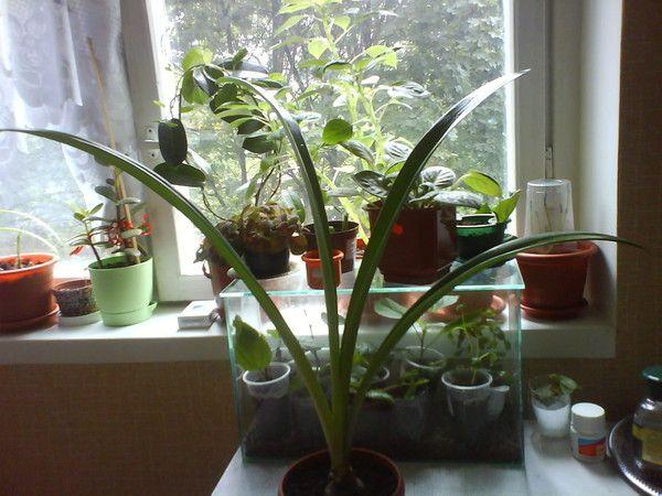 Хочу домашню герань посадити в саду