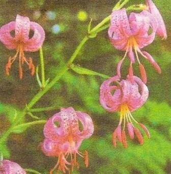 Лілія кучерява, її декоративні та лікувальні властивості