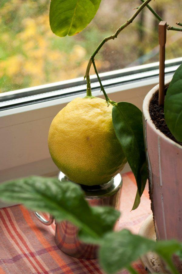 Проблеми вирощування лимона