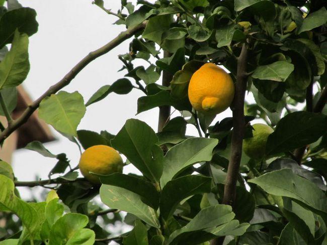 Догляд за лимоном